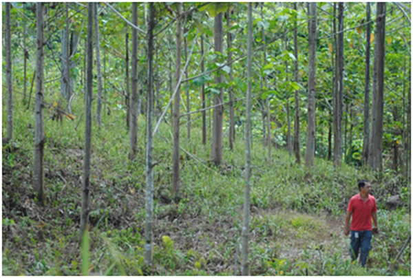 Three years old Binuang planted in Compartment 65, Block 1, 225 Hectares.