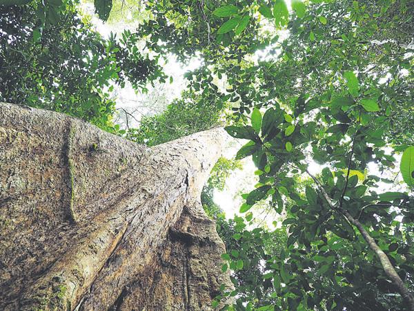 森林保護區內的龍腦香科 (學名:Dryobalanops beccarii) 。